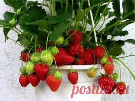 How to grow up strawberry in a pot on a window sill