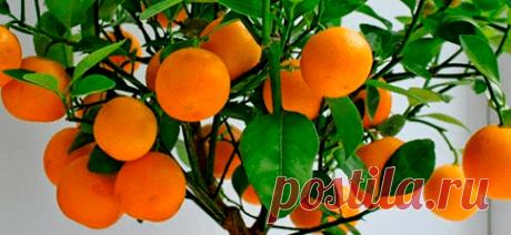Домашние деревья. Свежие фрукты круглый год.