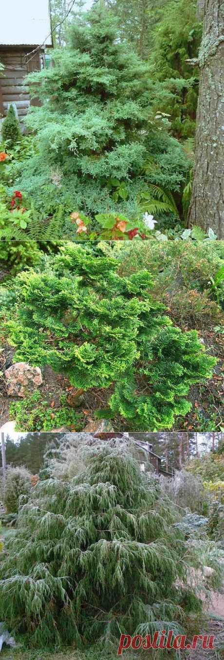 Кипарисовики в саду на Северо-западе
