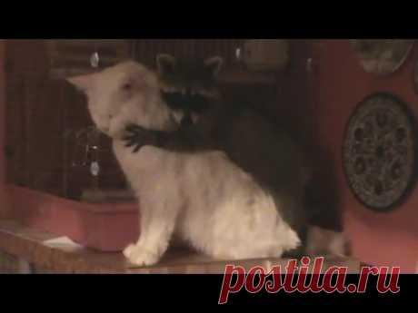 Кот избил надоедливого енота