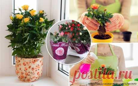 Адаптация комнатных роз: как сохранить капризный цветок в горшке?
