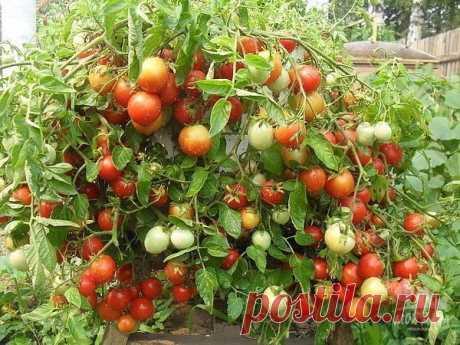 Хотите помидор - купите...трихопол!