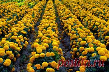 Бархатцы: лечебные свойства и противопоказания, применение в народной медицине и в косметологии Красивое декоративное растение, растущее у нас повсеместно, – этобархатцы, о полезных свойствах и противопоказаниях которых часто разгораются дискуссии. Немногие знают, насколько эта трава с ярко-жёлтыми, собранными в крупныесоцветия, цветками является целебной. Лечебные свойства для организма Травянистый однолетник широко используется в народной медицине и в косметологии, пом...