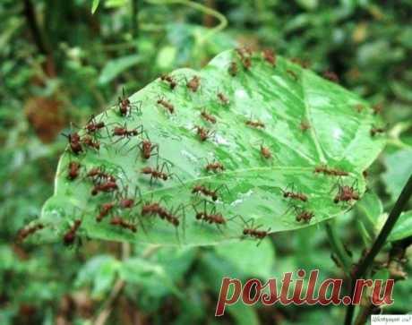 Кaк избaвиться oт мурaвьeв в огороде?