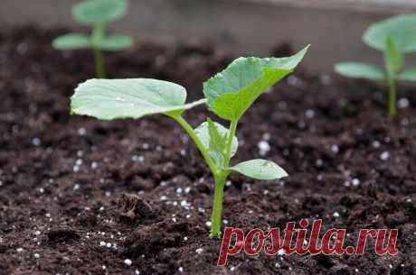 Чего нельзя делать при выращивании рассады огурцов | Огород на подоконнике | Яндекс Дзен