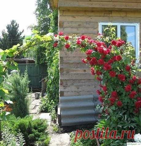 Плетистая роза - лучший уход — Садоводка