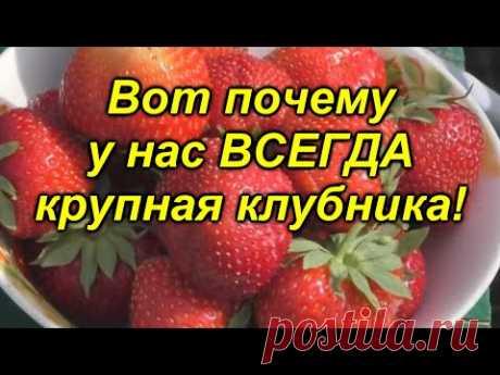 """Всего одна подкормка и ягода на клубнике будет КРУПНОЙ! """"Копеечная"""" [подкормка] клубники."""