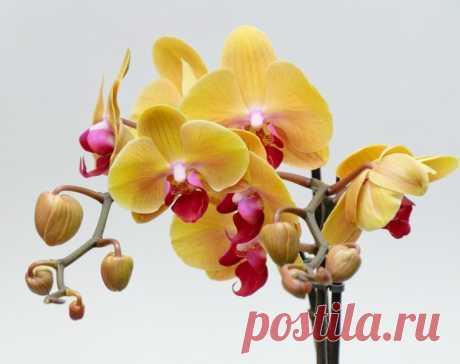 Почему у орхидеи опадают цветы и бутоны? — 6 соток