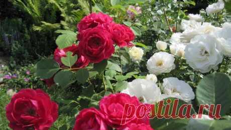 Основные сведения о розах Флорибунда: посадка, правила ухода, размножение Роза Флорибунда: что это такое, как появилась разновидность роз. Описание наиболее популярных сортов. Как вырастить розы Флорибунда на участке — правила посадки, ухода. Размножение растения. Розы Флорибунда в ландшафтном дизайне.