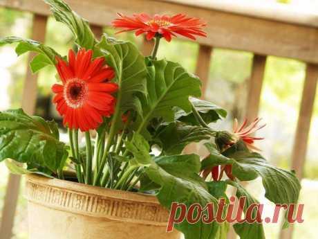 Гербера домашняя Такое цветущее горшечное растение, как гербера комнатная (домашняя) популярно среди огромного числа цветоводов. Главной особенностью герберы является то, что если ее содержать в условиях, которые весь...