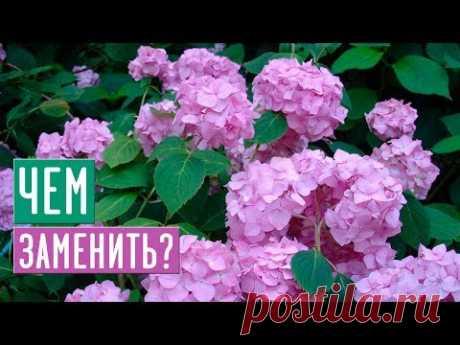 Достойная замена крупнолистной гортензии / Садовый гид