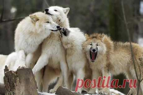 Сценка из волчьей жизни.   Wolves.