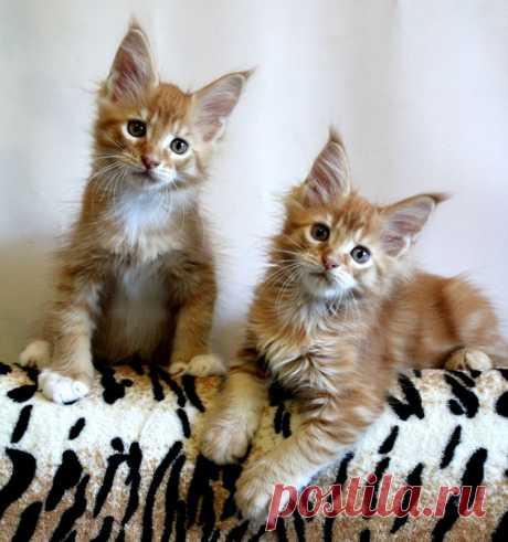 Мои тигры. Котята мейн-кун.