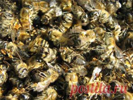 Пчелиный подмор – польза и вред, применение и рецепты
