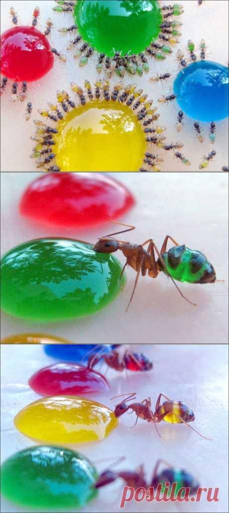 Разноцветные муравьи    - Blogbaster.org - блог об интересном