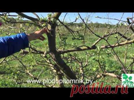 Формирование яблони и груши веретеном в течение жизни дерева.