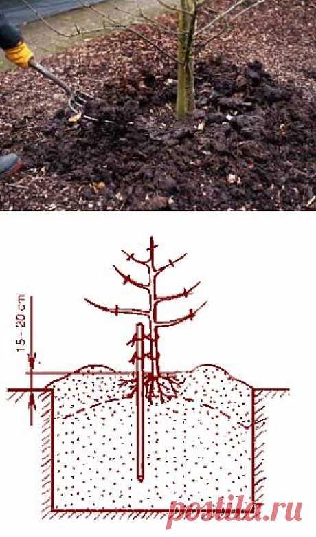 Как посадить саженцы плодовых деревьев | Дача - впрок