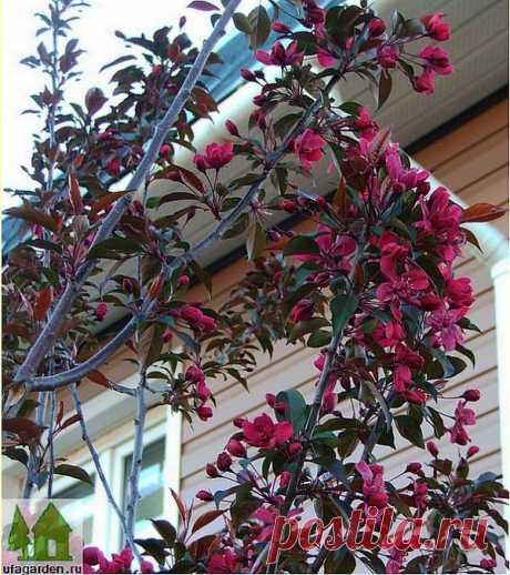 Краснолистная яблоня   Дачная жизнь - сад, огород, дача