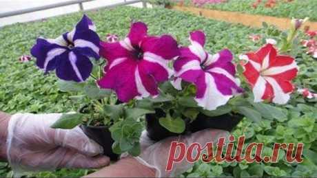 СТРИЖКА петунии. ПРИЩИПКА для пышного цветения куста. как правильно прищипывать стричь петунию