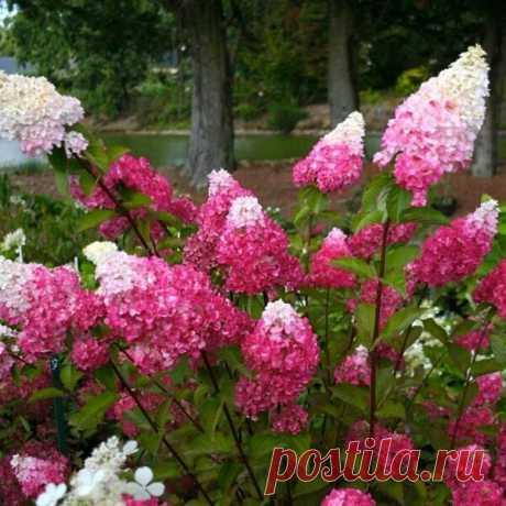 Выращивание метельчатой гортензии из кружки | Дача, сад, огород, рыбалка, рецепты, красота, здоровье