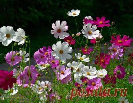 Какие семена цветов высеваю прямо на клумбу всходят быстро и быстро зацветают   САД   Яндекс Дзен