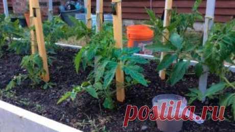 Эффективные рецепты подкормок из дрожжей для перцев и томатов