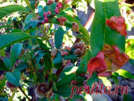 Персик - курчавость листьев, профилактика заболевания, подбор препаратов, видео
