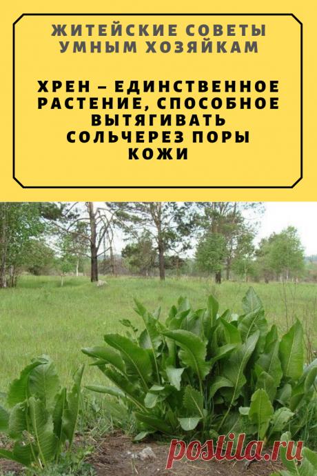 Хрен – единственное растение, способное вытягивать соль через поры кожи. | Житейские Советы