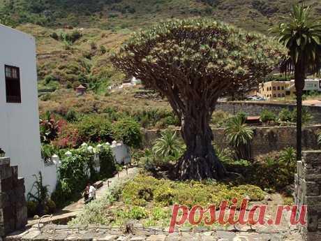 Фото: Драконово дерево— чудо СВЕТА это обитатель тропиков, дерево-чудище с красной кровью, растущее невероятно долго.