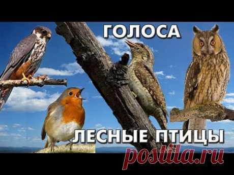 Голоса 38 лесных птиц (Птицы России) / Мини-определитель #ГолосаПтиц
