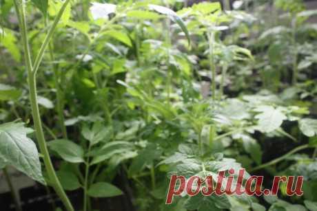 Немного о подкормке рассады томатов - Садоводка