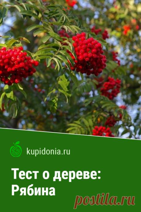 Тест о дереве: Рябина. Интересный тест о рябине из серии тестов о деревьях. Проверьте свои знания!