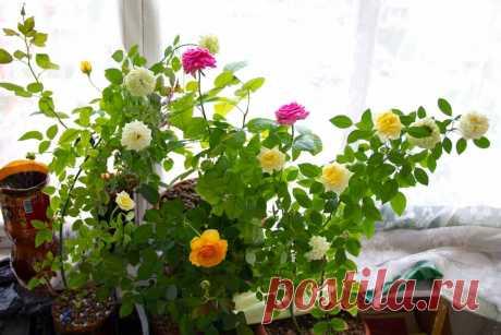 Как вырастить красивые розы на подоконнике в домашних условиях