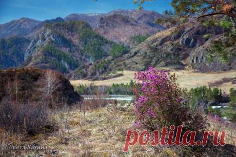 Светлана Казина (nat-geo.ru/photo/user/30896/) шлёт весточку с горноалтайских склонов – там началось цветение маральника (Рододендрон Ледебура). Глядите, какая нежная красота 🌸