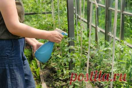 Фурацилин от фитофторы: 💦 правила обработки растений