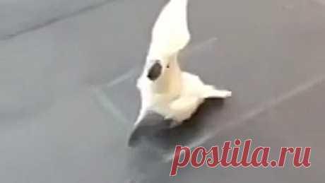 Охранный попугай
