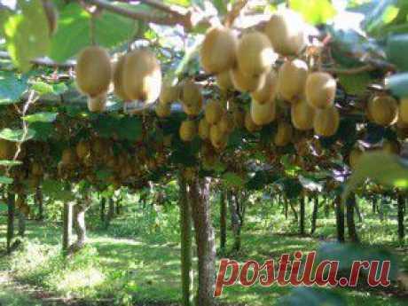 (+1) тема - Киви – экзотический фрукт (уход за кожей) | Полезные советы