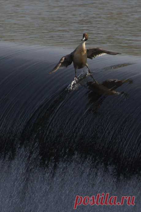 Утка-сёрфер - совершенно неизученный вид