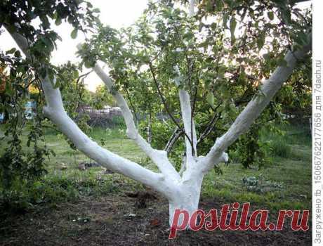 Ремонт-лечение старой яблони (20-летнее дерево). Побелка