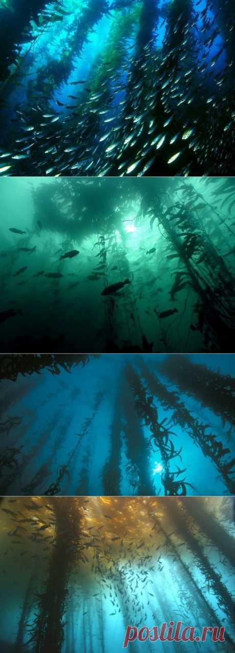 Подводные леса