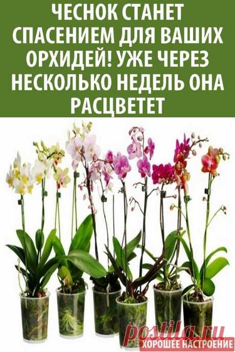 Чеснок станет спасением для ваших орхидей! Уже через несколько недель мой фаленопсис выпустил несколько…