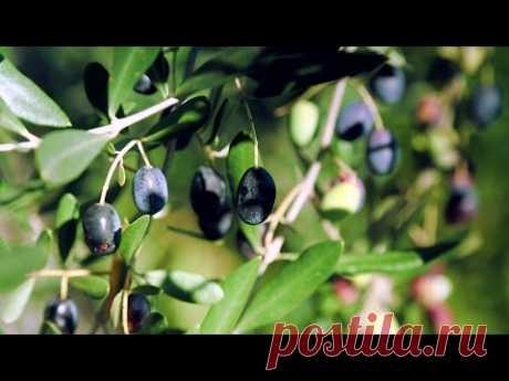 Оливковое масло - эликсир молодости? И как купить правильное!