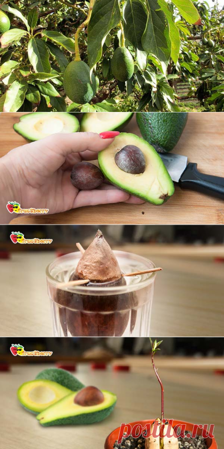How to grow up avocado from a stone in house conditions