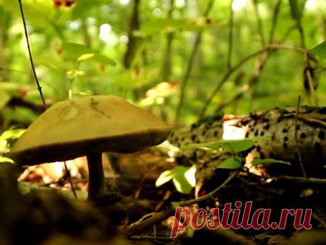 Грабовик - синеющий двойник подберезовика (на срезе окрашивается в розовато-фиолетовый цвет) | В лес по грибы | Яндекс Дзен
