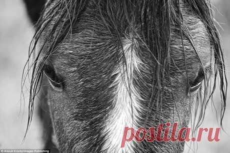 15 чёрно-белых фотографий диких лошадей, ради которых туристы стремятся на далёкий остров В мире осталось достаточно много мест, где можно увидеть диких лошадей. Однако увидеть дикими породистых скакунов -такое встречается очень редко, и именно ради этого туристы приезжают на остров Камбер...