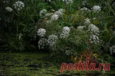 Зацвело опасное растение — и это не борщевик - Статья - Журнал - FORUMHOUSE