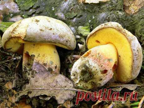 Грибы, которые почти никто не собирает. Часть 14. Полубелый гриб | грибной критик | Яндекс Дзен