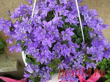 Комнатный цветок невеста или кампанула: фото, названия, уход Кампанула или колокольчик или жених и невеста или просто невеста - так называют этот нежный цветочек. Его легко выращивать в домашних условиях, он неприхотлив.