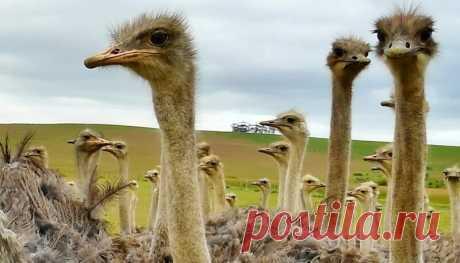 Страусиная ферма как бизнес-идея   Pentad