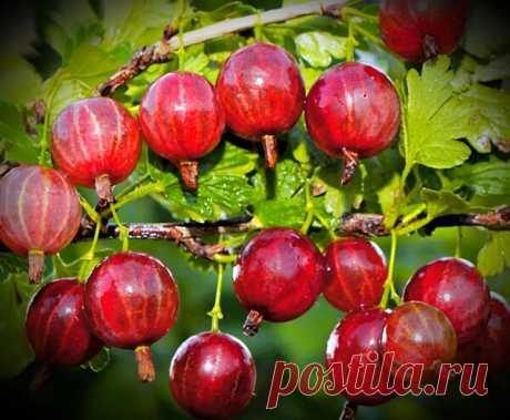 Тонкости выращивания крыжовника | Сад и огород | Яндекс Дзен